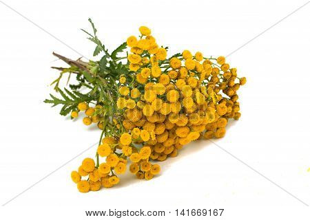 Tansy herbalism, homeopathic herba on white background