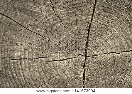 wooden transverse texture with cracks on the old stump closeup for a natural abstract background of beige color