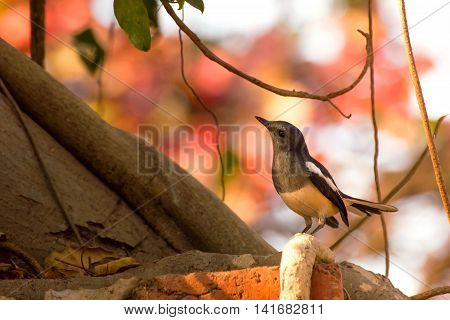The Oriental Magpie-Robin (Copsychus saularis) is a small passerine bird that was formerly classed as a member of the thrush family Turdidae but now considered an Old World flycatcher. They are distinctive black and white birds with a long tail that is he