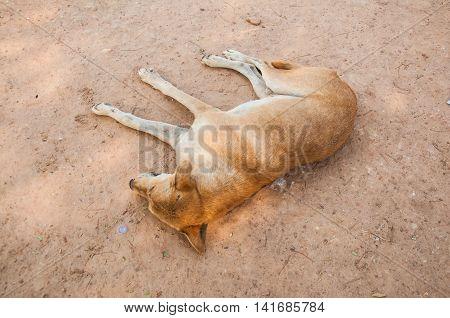 Thai dog on sand floor Thailand, dirty dog