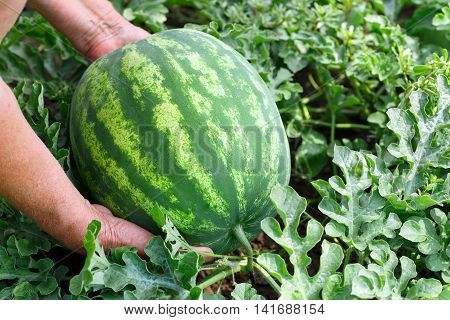 Hands of woman with watermelon growing in the garden. Organic watermelon growing in the garden. Harvest. Farmer's harvest. Healthy food. Ripe watermelon in field