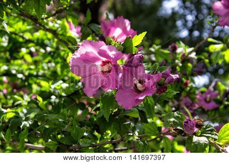Blooming rose of sharon (Hibiscus syriacus althea)