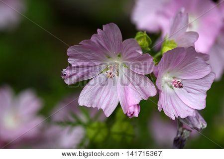 Flower of the Musk Mallow (Malva moschata)