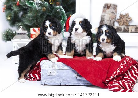 Dog breed Bernese Mountain Dog puppy, Christmas and New Year