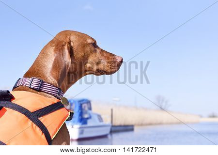 Dog with life jacket and pet collar on a motor boat. Boat trip with Viszla.