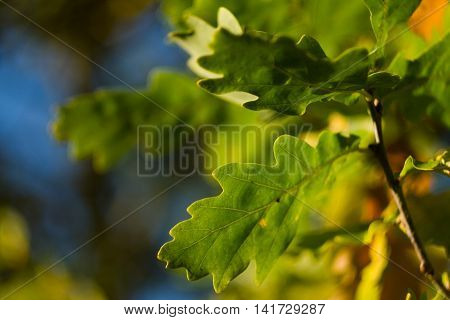Green oak tree leaves with sunshine on them