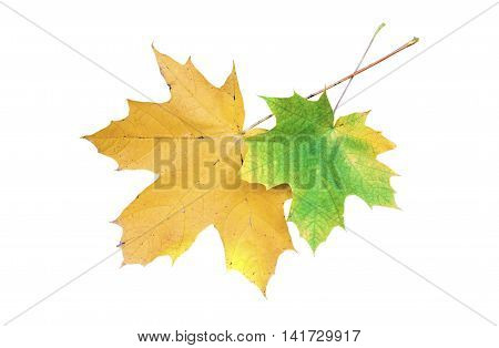 Two maple leaves isolated on white background
