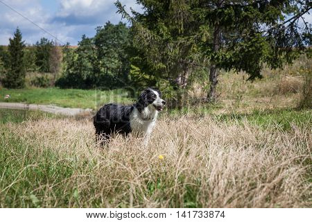 Border Collie dog on the shore of a lake playing with a frisbee