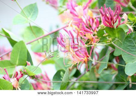 Flowers of an Italian woodbine (Lonicera caprifolium)