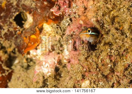 Sabre-toothed Blenny Fish In The Hidding Place