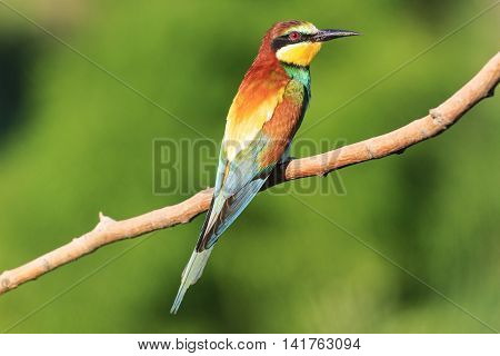 Birdy - rainbow sits on a branch on a green background, european bee eater, strange bird, bird of paradise, bright colors