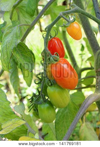 Red Plum Tomatoes On The Vine