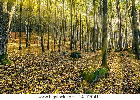 trees in foggy autumn forest with foliage lit with sun rays