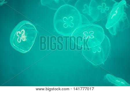 Background of the jellyfishes in big aquarium