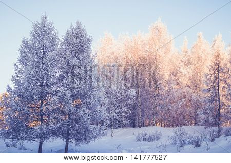 Winter morning golden forest in Ural Russia