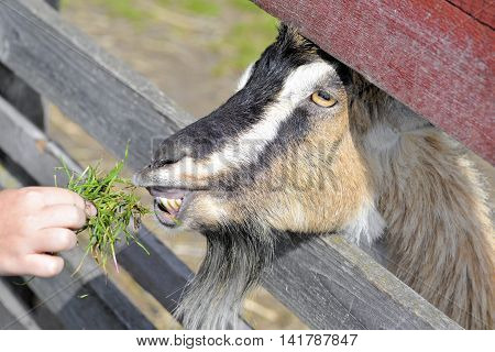 Cute funny goat eats from a human hand on the goat farm. Funny tame  goat eating  snacks on the farm and green field background