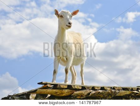 Funny goat standing on barn roof on country  farm. Cute and funny white young goat on a background of blue sky. Goat farm.