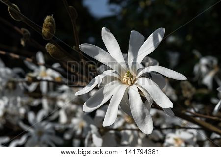 Poor Light Wb Abloom White Star Magnolia Closeup Blossoming Flowers Dark Vintage Background