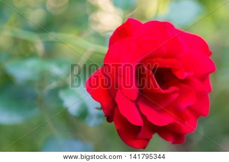 Chromatic Aberratipn Front View Head Of Romantic Red Rose Against Blurred Background