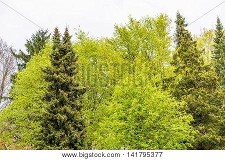 European Flora, Green Decidious Trees, Conifers And Firs In Springtime