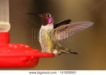 Anna's Hummingbird Throwing Back Wings On Feeder In California