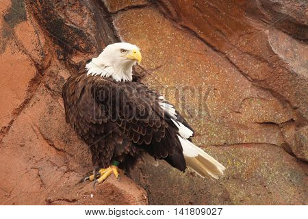 Bald Eagle On Sandstone Perch In Southern Montana