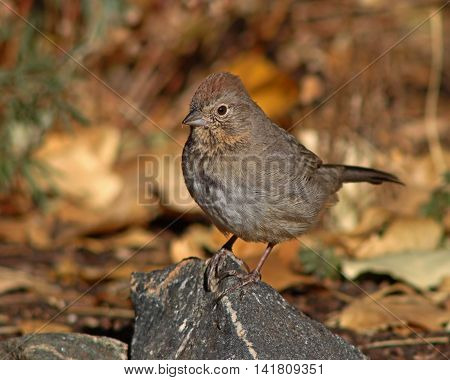 A Canyon Towhee resting on a rocky perch during autumn in New Mexico.