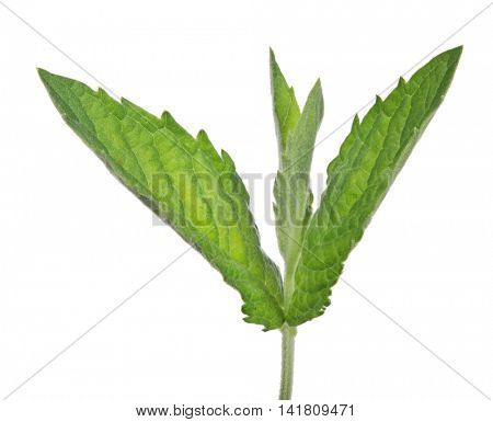 young dark green mint leaves isolated on white background