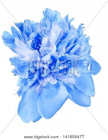 blue peony flower bloom isolated on white background