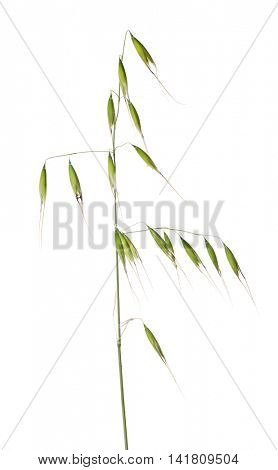 green oat isolated on white background