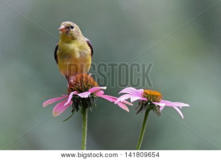 A female goldfinch (Carduelis tristis) perching on a purple coneflower.
