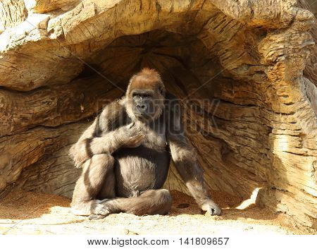 An Ape Resting In The Shade Of A Root Mass
