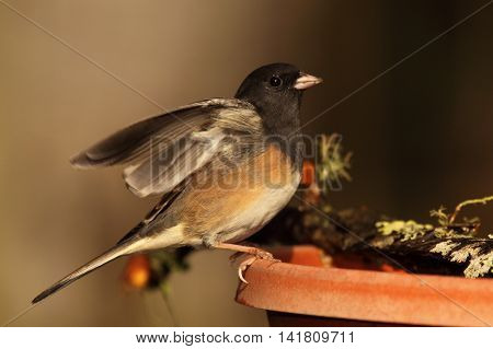 A Junco Throwing Up Its Wings In A California Garden