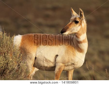 A Pronghorn Antelope Looking Back Among Sagebrush In Yellowstone National Park