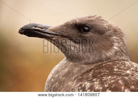 An immature Western Gull looking up along the coast of California.