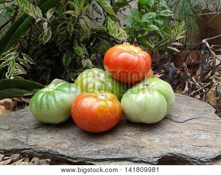 Fresh tomatoes in the garden from Margarita Island
