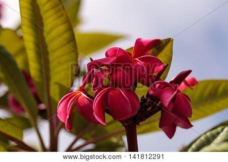 Red Hawaiian plumeria hybrid, frangipani blooms in summer in Hawaii