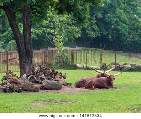 Ankole-Watusi lying at grasslands. Herd of Watusi big cows relaxing in zoo.