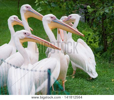 Great White Pelican is a bird in the pelican family. Big bird near the lake in zoo.