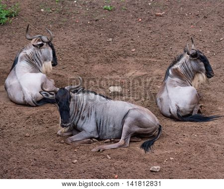 Eastern white-bearded wildebeest relaxing in zoo. Small group of Gnu lying on the ground.