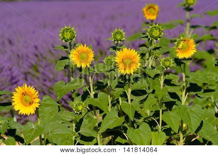 Sunflowers in a lavender field in Provence, France