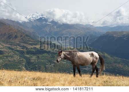 Grey horse in a pasture in the mountains. Autumn landscape on a sunny day. View the top Tetnuldi. Caucasus, Georgia, Zemo Svaneti