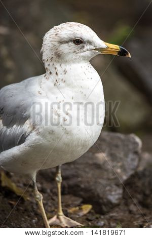 Ring-billed Gull (Larus delawarensis) on rocks at the side of the Ottawa River.