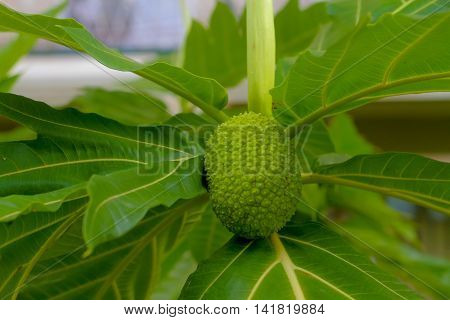 Breadfruit : Breadfruit is a species of flowering tree in the mulberry and Jackfruit family originating in the South Pacific and that was eventually spread to the rest of Oceania.