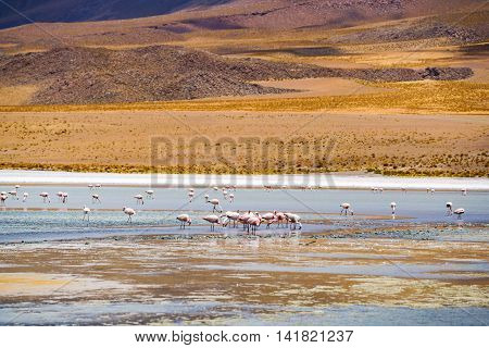 Flock of flamingo feeding in a laguna at Salar de Uyuni Bolivia