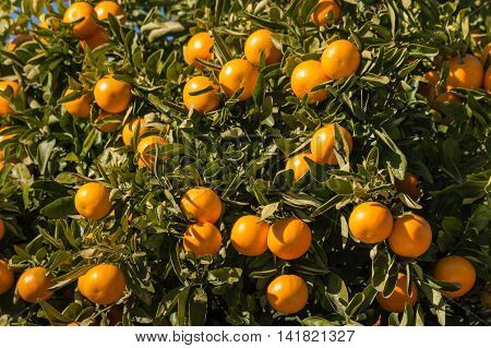 closeup of mandarin oranges ripening on tree