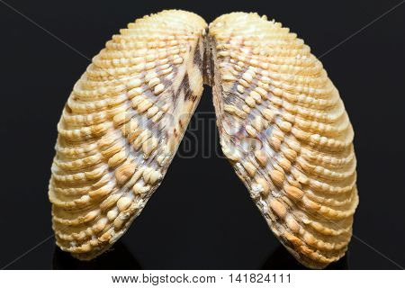 sea shell of bivalvia isolated on black background