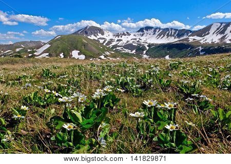 Alpine wild flowers and mountain with snow. White Marsh Marigold at Independence Pass near Aspen and Denver Colorado USA.