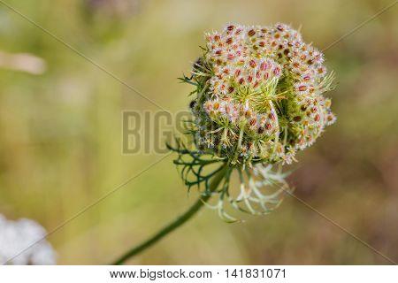 Daucus Carota Flower