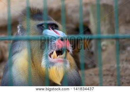 Mandrill monkey in a captivity, a portrait